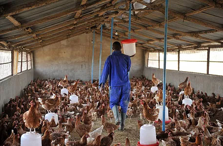 POULTRY - Smallholder Commercialization and Agribusiness